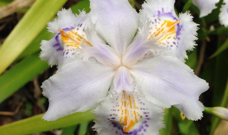 会社に咲いているシャガの花